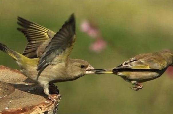 vrabcheta