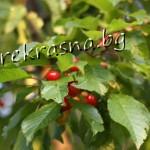 Чай от черешови листа лекува камъни в бъбреците