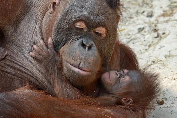 orangutani