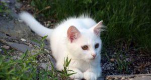 бялото коте