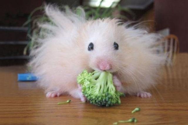 puhkav hamster