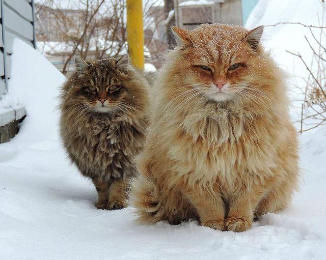 sibirski kotki
