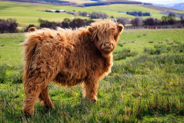 visokoplaninska krava