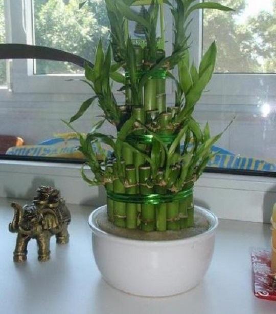 бамбук пресаждане