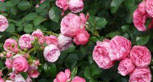 да събудим розите