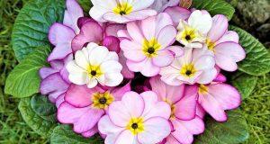 пресаждане на цветя