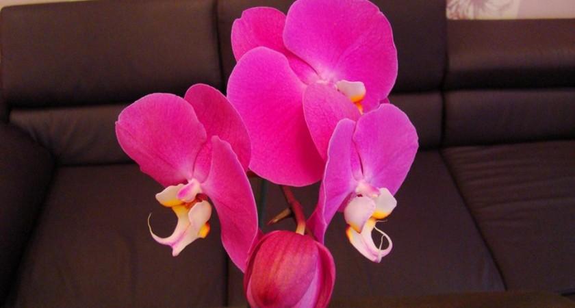 Как трябва да се полива орхидеята?