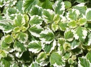 цветето Плектрантус