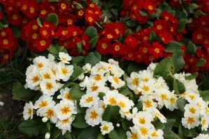 красиви пролетни цветя