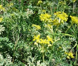 седефче цвете
