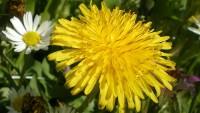 3 билкови рецепти, които помагат при чернодробни заболявания