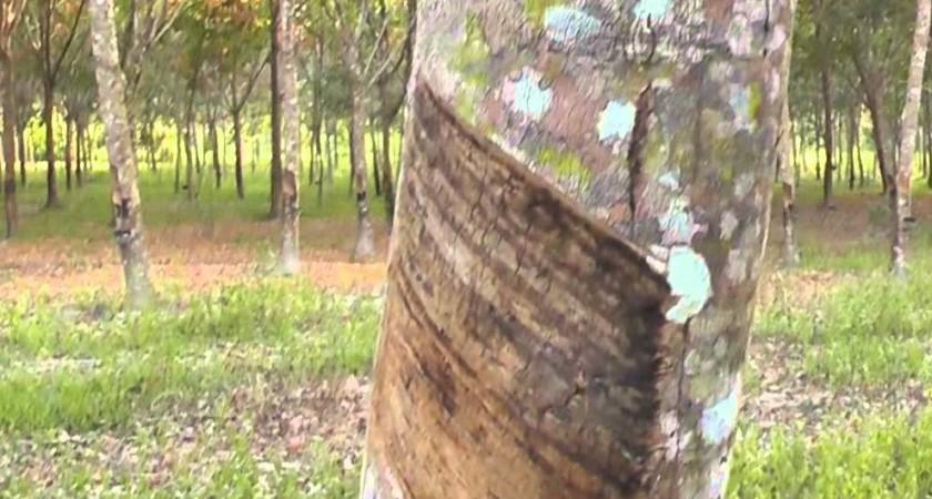 Какво може да се направи от каучуково дърво?