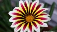 Гербер – лесно за отглеждане цвете