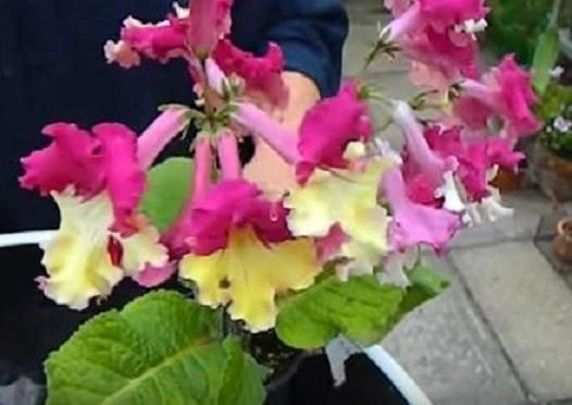 Стрептокарпус – какво знаете за това прекрасно цвете?