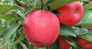 кога се ядат ябълки